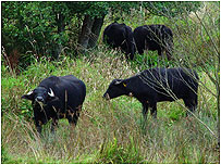 Water Buffalo c/o Wildlife Trust of South and West Wales and Mike Snow)