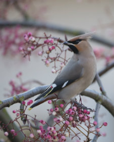 A waxwing