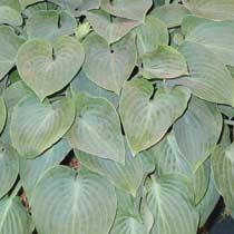 Bbc Gardening Plant Finder Plantain Lily
