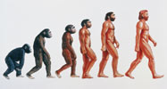 Illustration showing stages in the evolution of humans