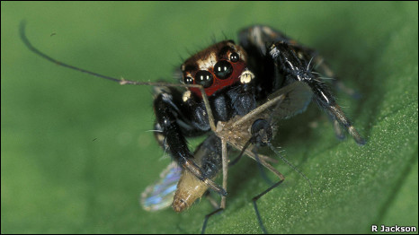 A male East African jumping spider, Evarcha culcivora, eating mosquitoes