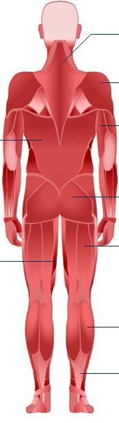bbc - science & nature - human body and mind - anatomy - muscular, Muscles