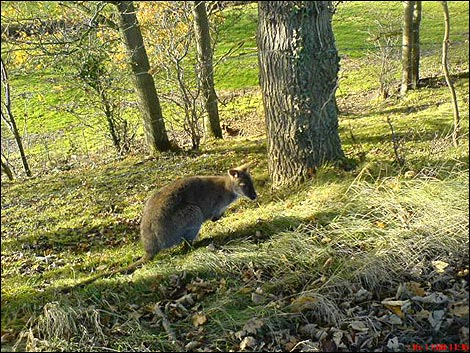 Bbc Cumbria Nature Wild Wallaby In The Cumbrian Countryside