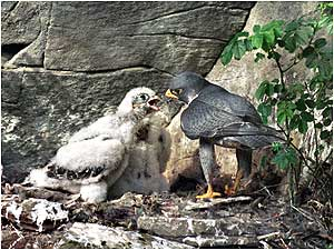 Falls of Clyde (Image: Peregrine Falcons c/o Stephen Kane)