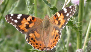 Painted Lady by Dawn Balmer/BTO