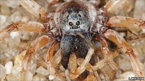 Male wolf spider eats female (Image: L Watson)