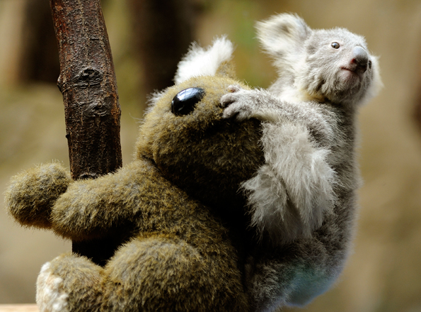 Koala cuddles cuddly koala toy