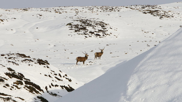 Two stags in snowfield
