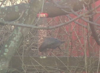 Starling on birdfeeder