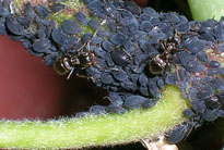 Adult wingless black bean aphids
