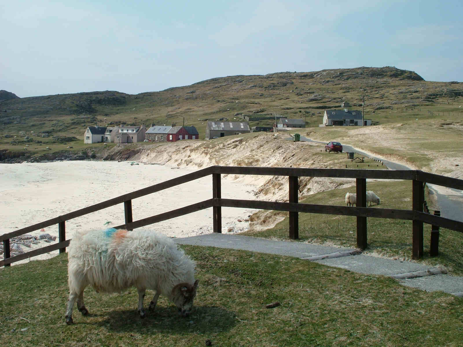 Sheep at Huisinis, Harris