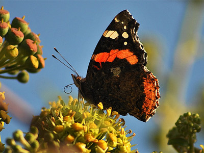 A red admiral enjoying the November sunshine at Boverton. Image by Sue.