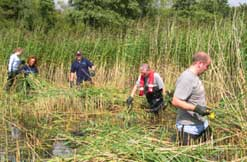 The reedbed at walton lake with volunteers reed cutting