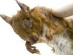 Dead red squirrel affected by the pox virus
