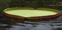 Giant lilly pad
