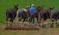 Amish man with a seed drill pulled by a team of mules