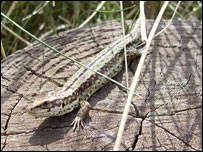 A Common Lizard: Steve Wright