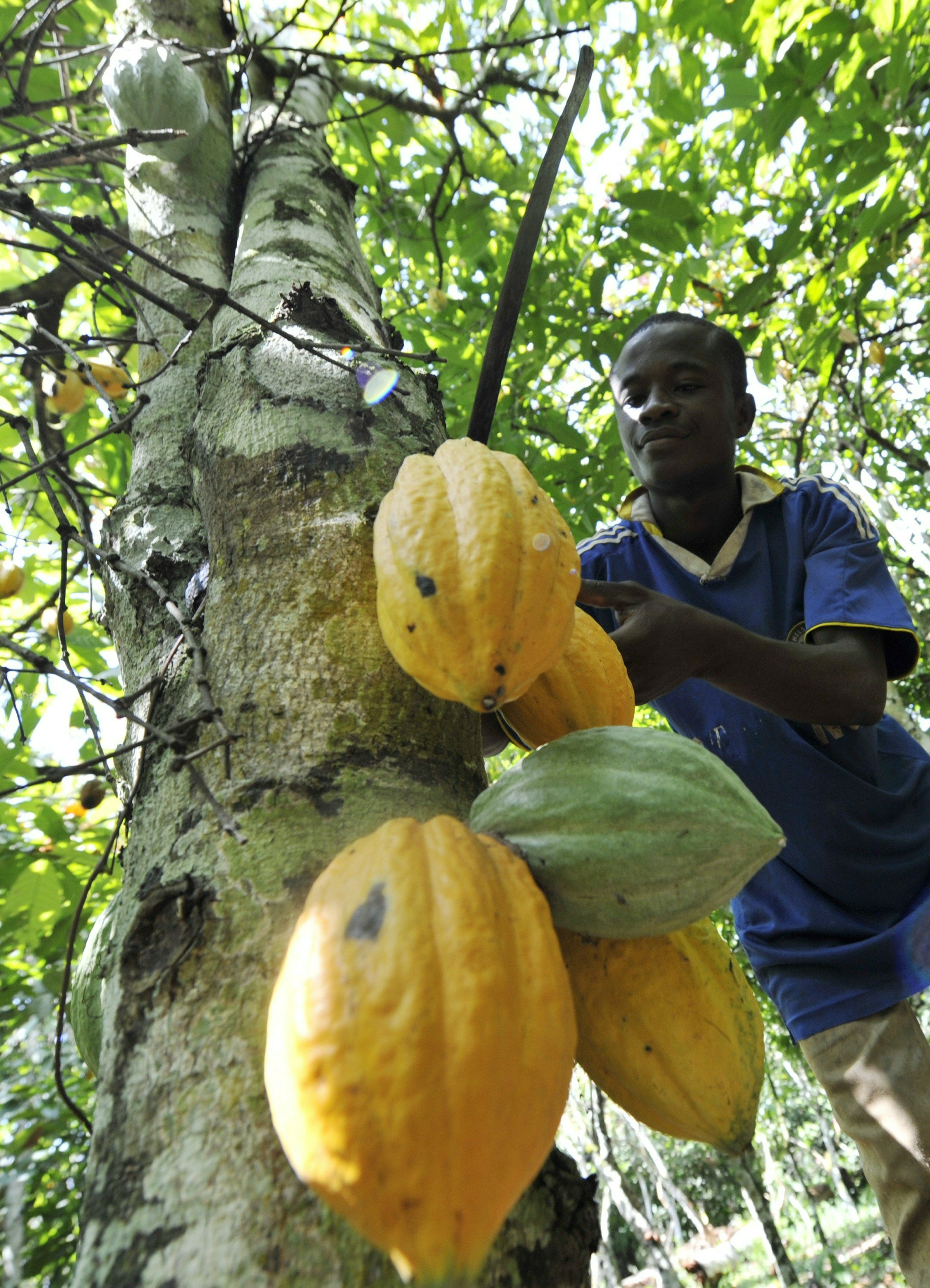 A file photo taken on October 25, 2010 shows a young employee harvesting beans from a cocoa tree in Amichiakro, a cocoa plantation in Divo.