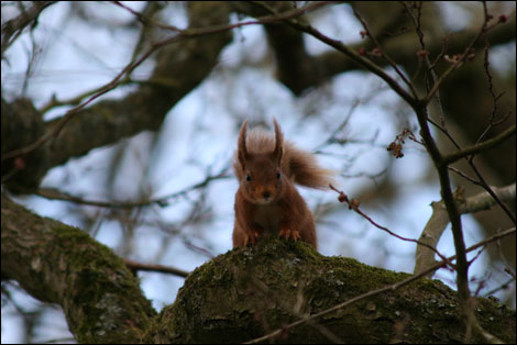 Red squirrel. Photo: Mick King