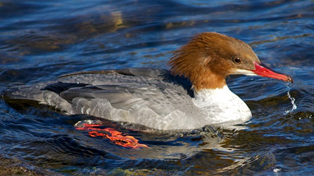 A female goosander in Snowdonia by Jeanette Cohen.