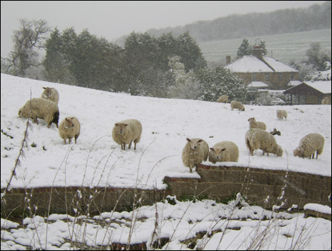 Sheep in the snow. Photo by Natalie Galbraith