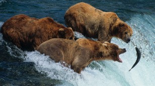 Brown Bears by Nature Picture Library