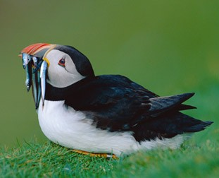 Puffin from the Nature Picture Library
