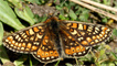 Marsh Fritillary by Mike Turtle