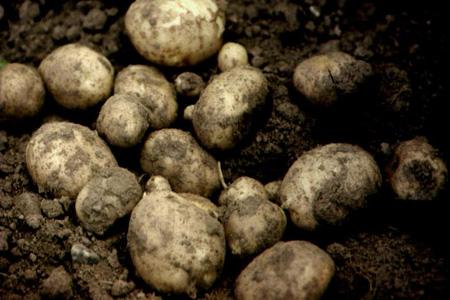 bbc gcse bitesize attitude tone and ideas potatoes in the ground