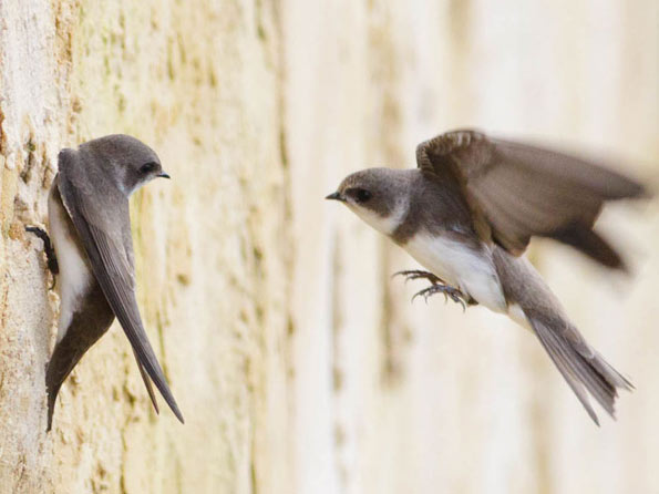 sand martins copyright Paul Farnfield