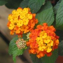 Bbc Gardening Plant Finder Lantana