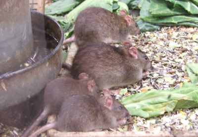 Young brown rats. Courtesy of British Wildlife Centre.