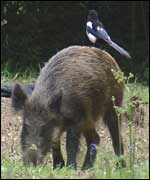 Wild boar with a magpie on its back