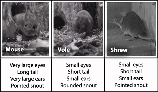 difference between moles and voles