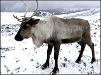 Cairngorm reindeer Photo courtesy of Cairngorms NP