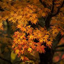 Bbc Gardening Plant Finder Japanese Maple