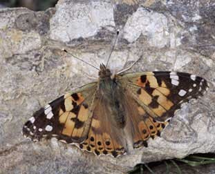 Painted Lady Butterfly from the Nature Picture Library