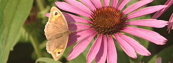 butterfly on an echinacea flower
