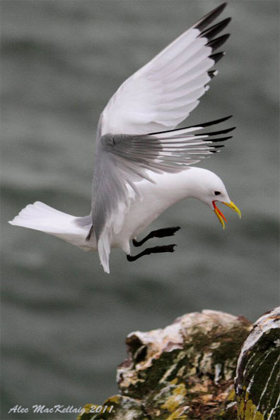 Kittiwake by Alec MacKellaig