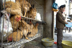 Chickens for sale in a market in China