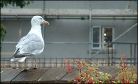 BBC - Jersey - Have Your Say - Anti-Social Seagulls?