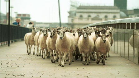 Flock of sheep in London