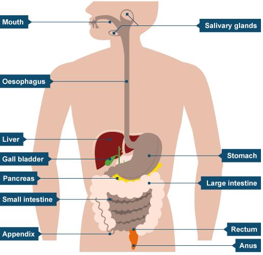 Bbc bitesize gcse biology tissues organs and organ systems bbc intermediate 2 bitesize biology mammalian ccuart Image collections