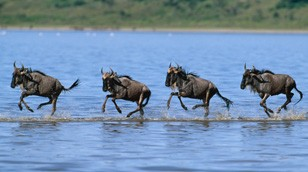 Wildebeest from the Nature Picture Library