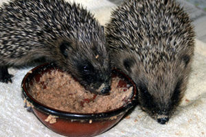 Hedgehog Diet