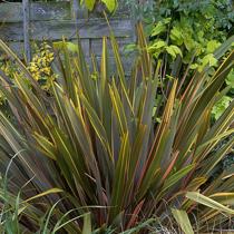 bbc gardening plant finder new zealand flax. Black Bedroom Furniture Sets. Home Design Ideas
