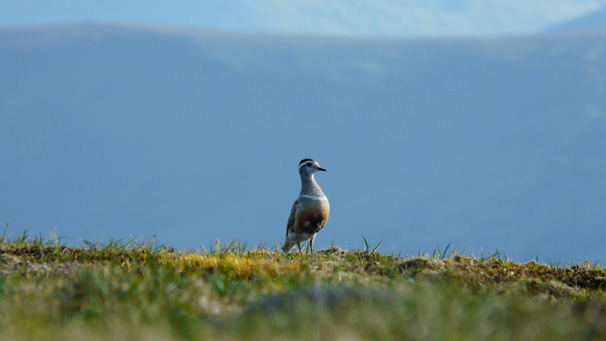 Kevin Masson shot this picture of a dotterel on Glas Maol in the Cairngorms.