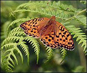 The brown fritillary is one of Britain's rarest