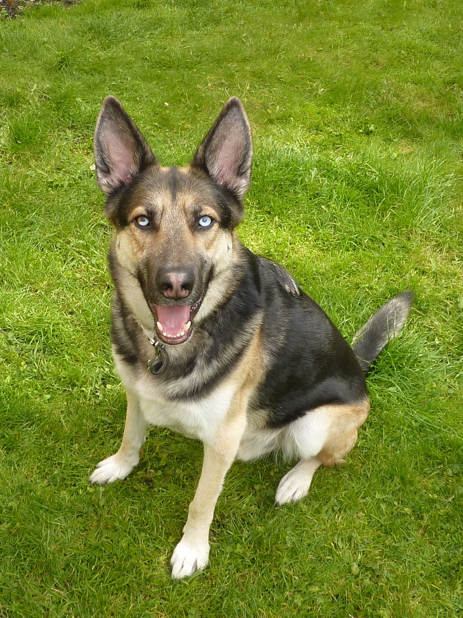 A picture of a lovely dog, a cross between a husky and an German shepherd