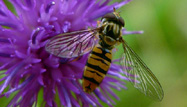 Marmalde Hoverfly by Buglife